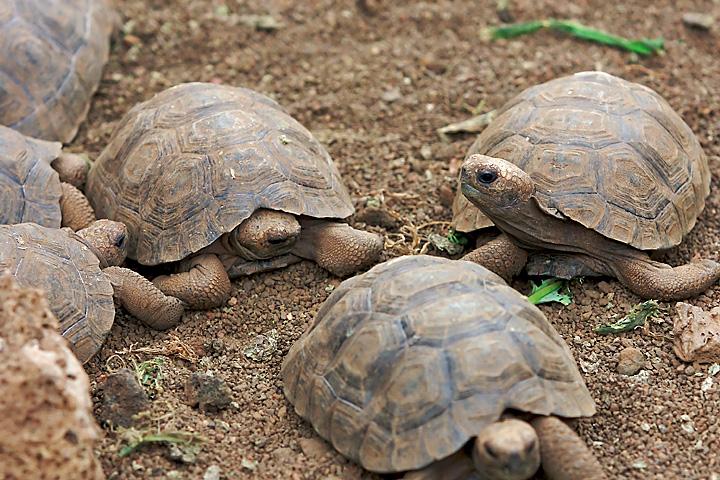 6 baby Galapagos Giant Tortoises gather on the sandy ground.